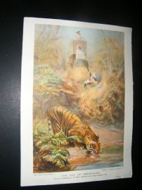 Boys Own 1909 Antique Print. Tiger. The Day of Reckoning